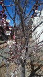 Christi and Nan's apricot tree March 2012
