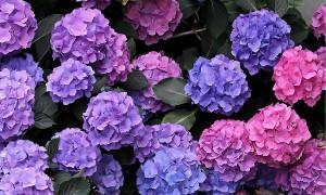 hydrangea-bush